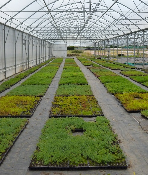 Production sedum Greenfield