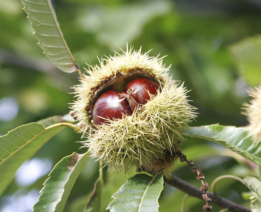 Chestnuts_(3)