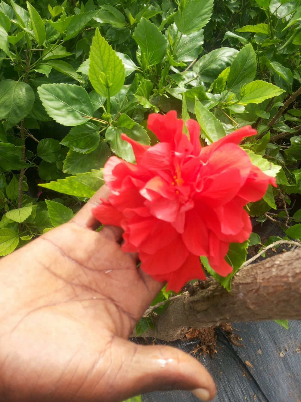 HIBISCUS_DOUBLE_ROUGE