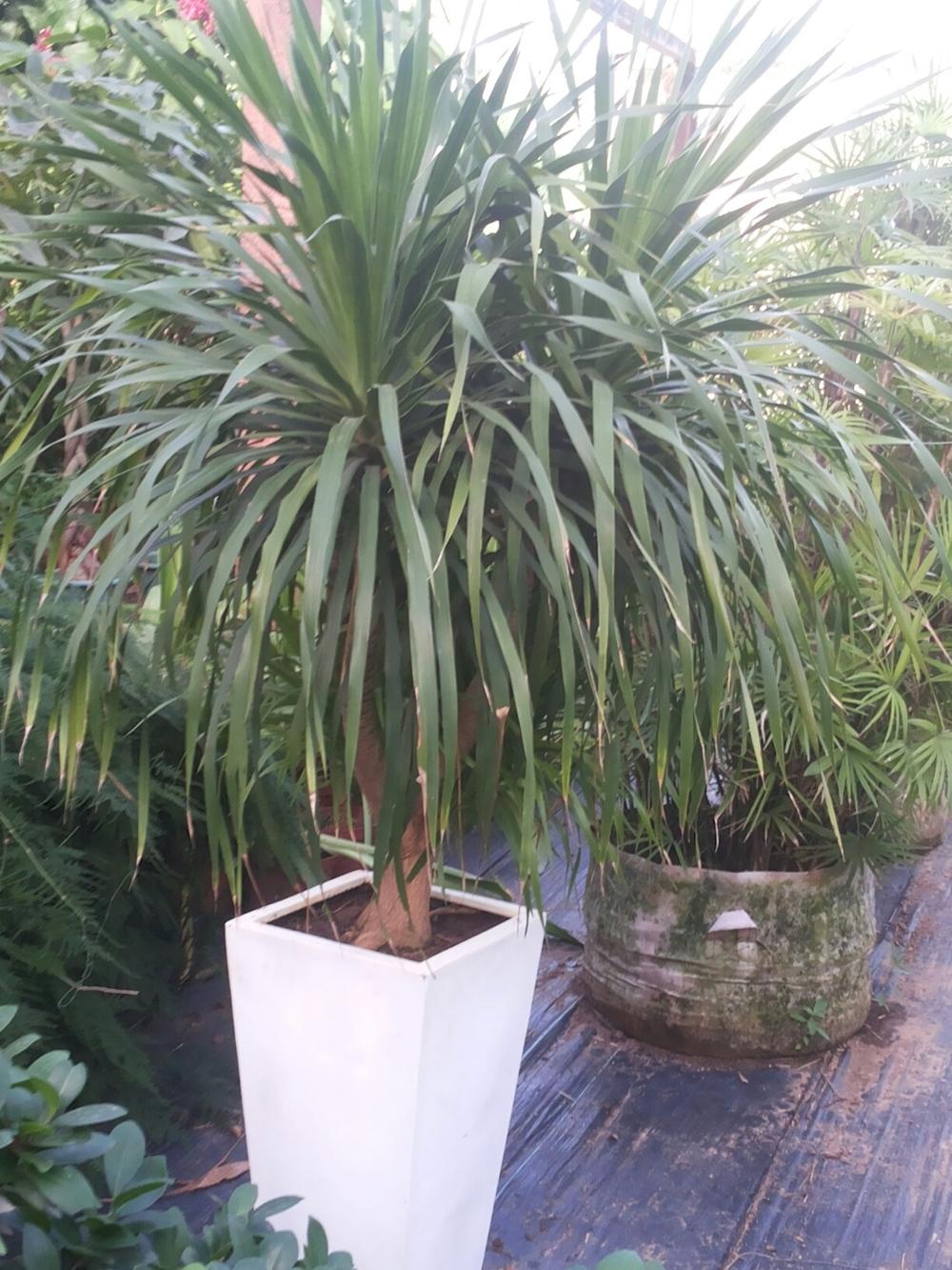 Jardinerie de plantes ornementales tropicales - Entretien dracaena marginata ...