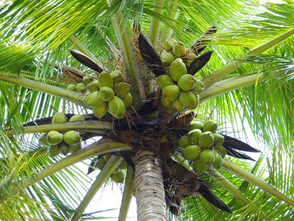coconut-palm-172530_1920
