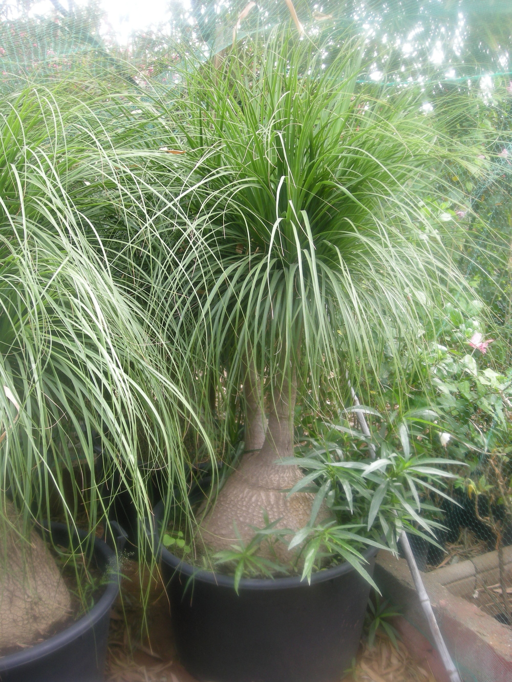 Jardinerie de plantes ornementales tropicales - Plante verte appelee pied d elephant ...