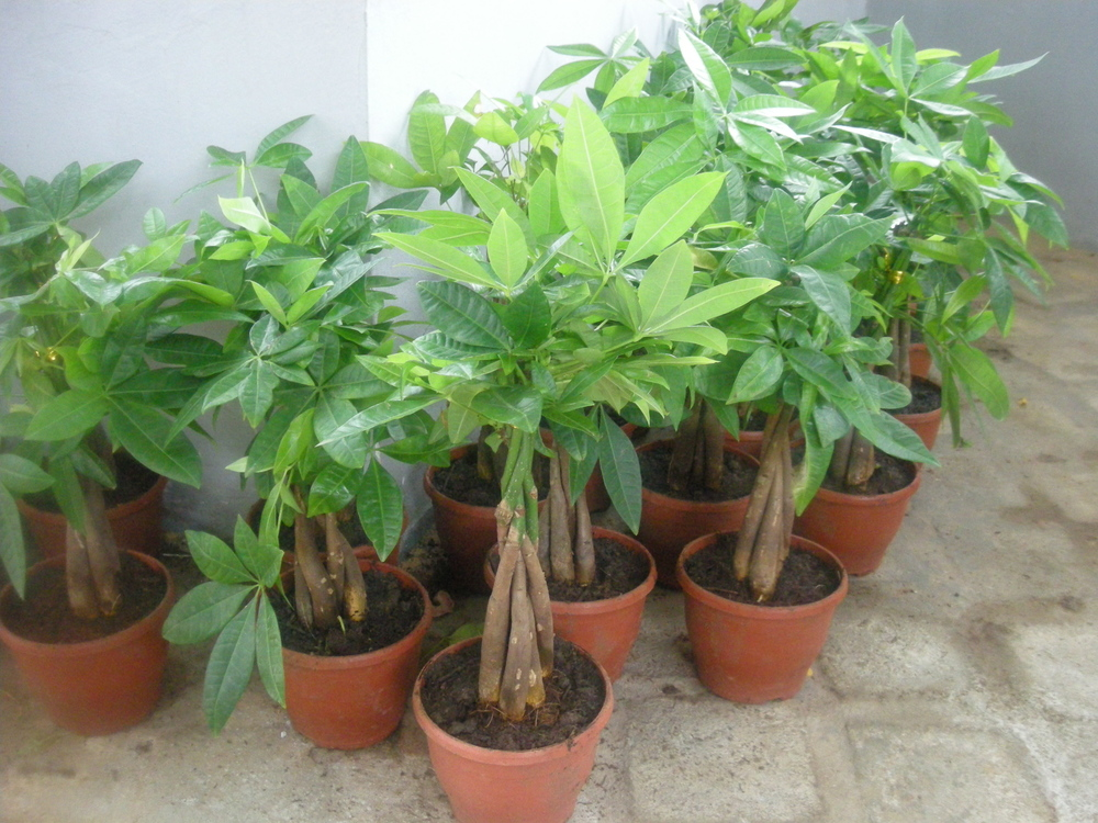 Jardinerie de plantes ornementales tropicales for Plantes tropicales exterieur