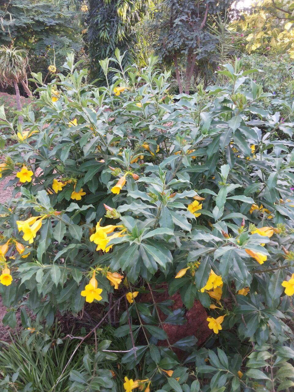 Arbuste Persistant En Pot Plein Soleil jardinerie de plantes ornementales tropicales