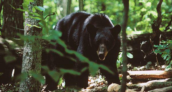 Blak Bear