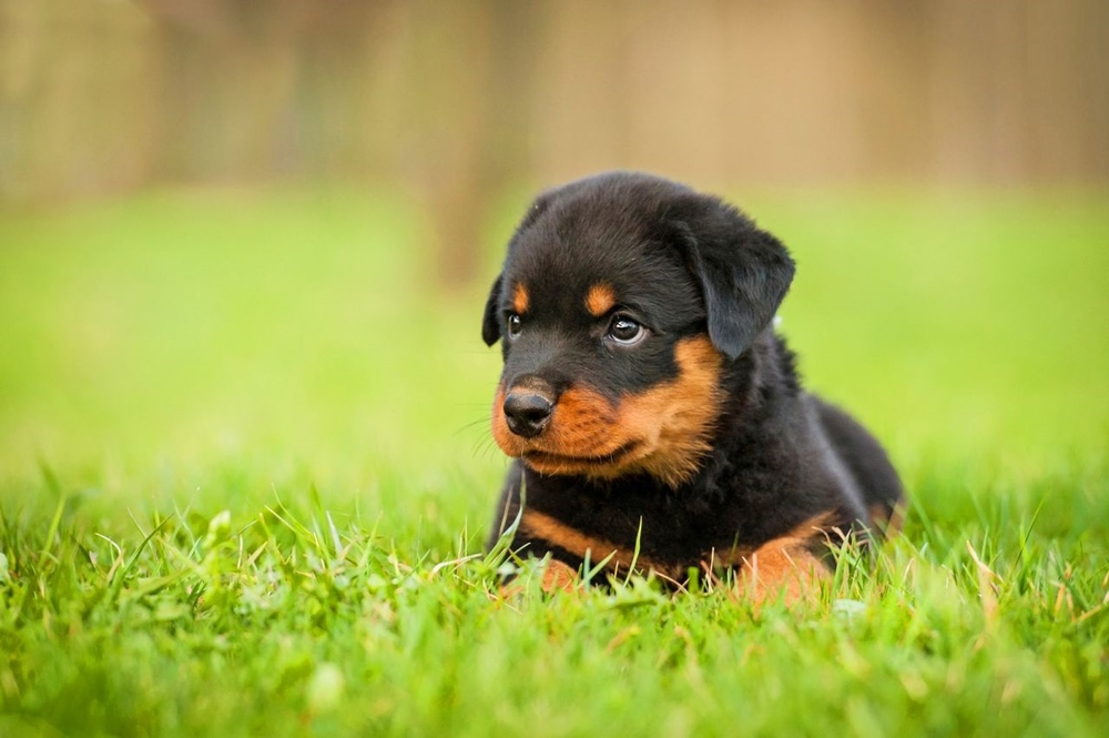 How-to-Train-Rottweiler-Dog