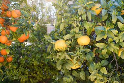 Fermeture d orangers dans le jardin orientation s%c3%a9lective oranges m%c3%bbres accroch%c3%a9es %c3%a0 l oranger 162323793
